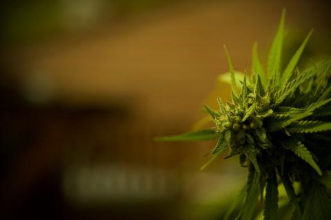 Marijuana Plant - Teen Rehab