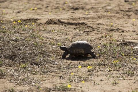 Baby Turtle Walking In Sun - Teen Rehab