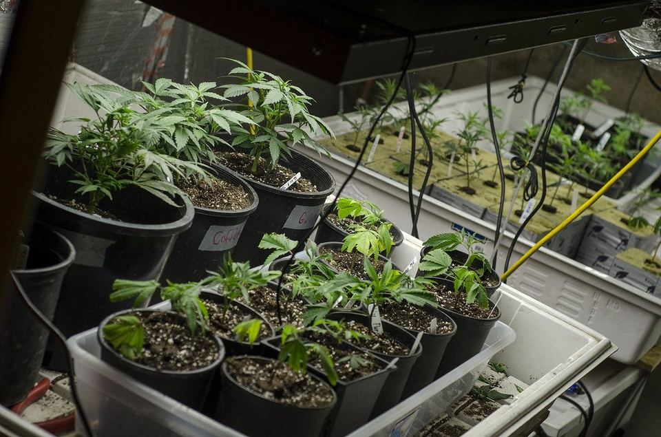 Marijuana Plants - Teen Rehab