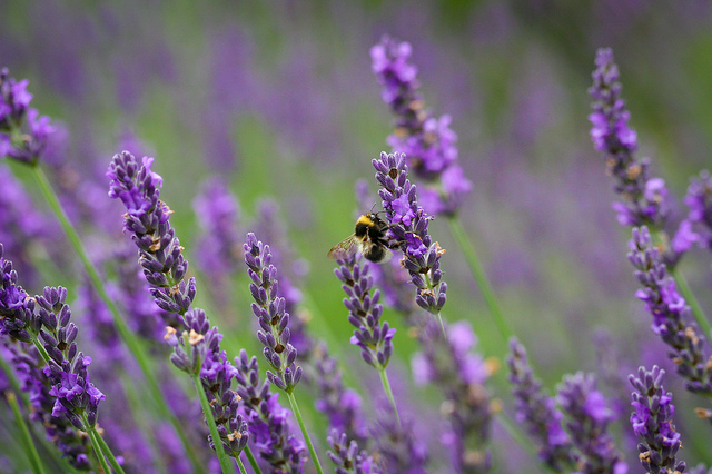lavender flowers plants bee nature